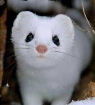 3D model snow white weasel 4.jpg Télécharger fichier STL gratuit Belette blanche neige • Plan imprimable en 3D, derailed