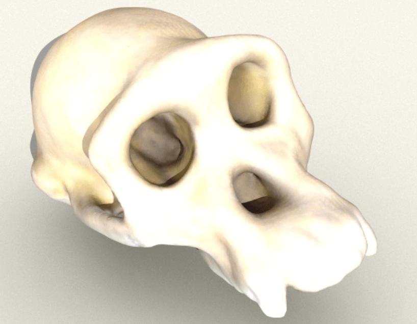 Capture d'écran 2018-05-14 à 14.29.27.png Télécharger fichier STL gratuit Crâne de chimpanzé • Objet pour impression 3D, sjpiper145