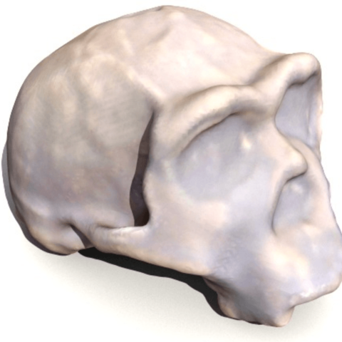 Download free 3D printer designs Homo ergaster skull, sjpiper145
