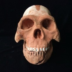 Free 3D printer designs Homo naledi ancient hominid skull reconstruction, Anthrobones