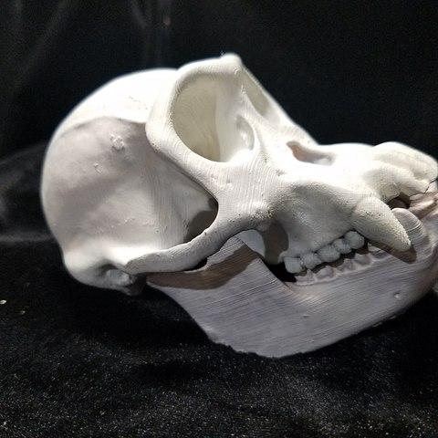 Modelos 3D Réplica de alta resolución del cráneo de un chimpancé Tamaño completo, Anthrobones