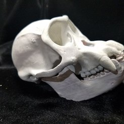 20171223_211834.jpg Download STL file High Resolution Replica Scan Chimpanzee Skull Full Size • 3D printing model, Anthrobones