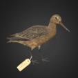 Free 3d printer model Bar-tailed Godwit / Kūaka, AucklandMuseum