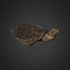Download free OBJ file Hawksbill Sea Turtle • Template to 3D print, AucklandMuseum