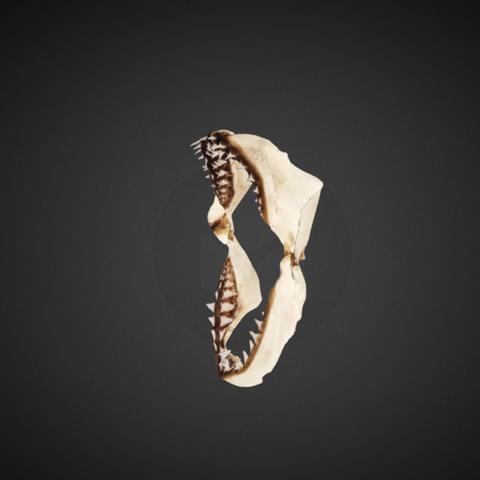 Capture d'écran 2017-12-14 à 16.35.29.png Download free STL file White Shark Jaw • 3D printing template, AucklandMuseum