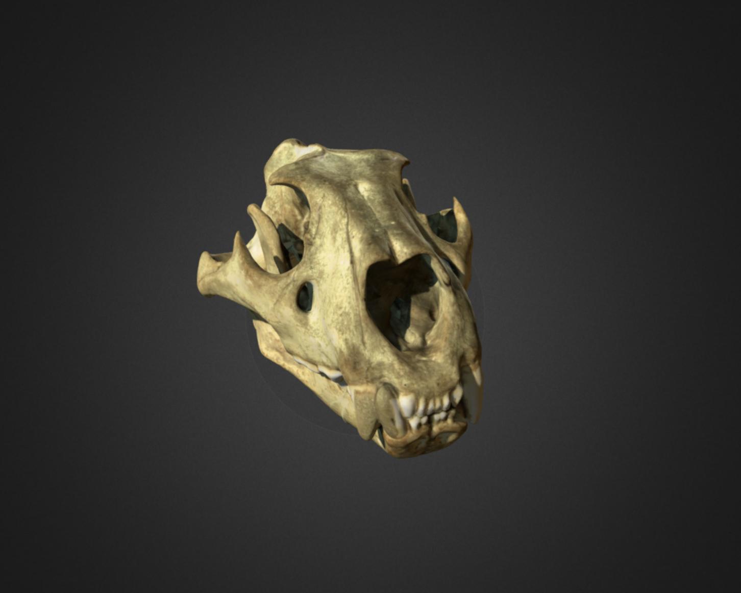 Capture d'écran 2017-12-14 à 15.10.26.png Download free OBJ file Lion Skull • 3D printing object, AucklandMuseum