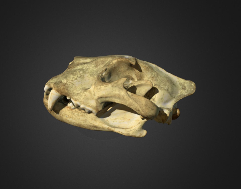 Capture d'écran 2017-12-14 à 15.10.38.png Download free OBJ file Lion Skull • 3D printing object, AucklandMuseum