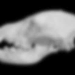Free STL files Hyaena hyaena, Striped Hyena skull, MadScientist3D