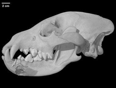 specimen-1.jpg Download free STL file Parahyaena brunnea, Brown Hyena  skull • 3D print design, MadScientist3D
