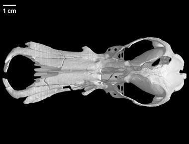 specimen-2.jpg Télécharger fichier STL gratuit Obdurodon dicksoniFossile, Crâne d'ornithorynque fossile • Design pour imprimante 3D, MadScientist3D