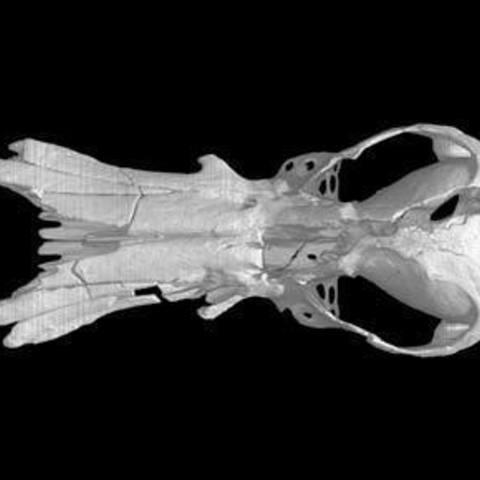 Free stl Obdurodon dicksoniFossil, Fossil Platypus skull, MadScientist3D