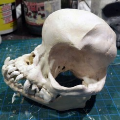 Download free STL file Pug skull, voxinaudita