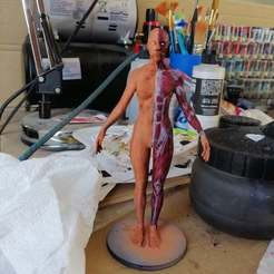 Download free 3D printing models Female Anatomy Reference, Frazus