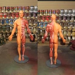 Free 3D model Anatomy reference, Frazus