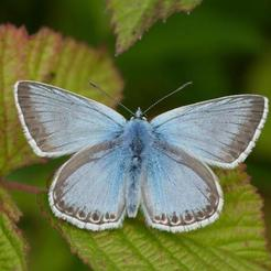 Chalk Hill Blue (male)_Iain Leach 3.jpg Download STL file common blue butterfly • 3D print template, SpaceCadetDesigns