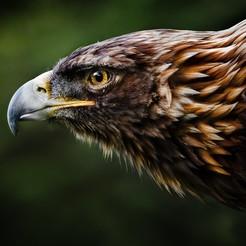 Descargar diseños 3D Águila Rugiente, Solutionlesn