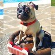 Download free 3D printing designs Pug dog realistic model, splited and ready for 3d print, chris_guicha