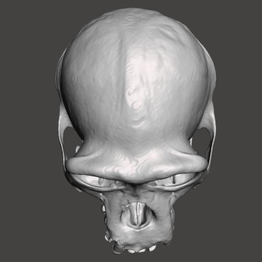 5.png Télécharger fichier STL gratuit Crâne de chimpanzé - Pan troglodytes verus • Objet pour imprimante 3D, Valchanov