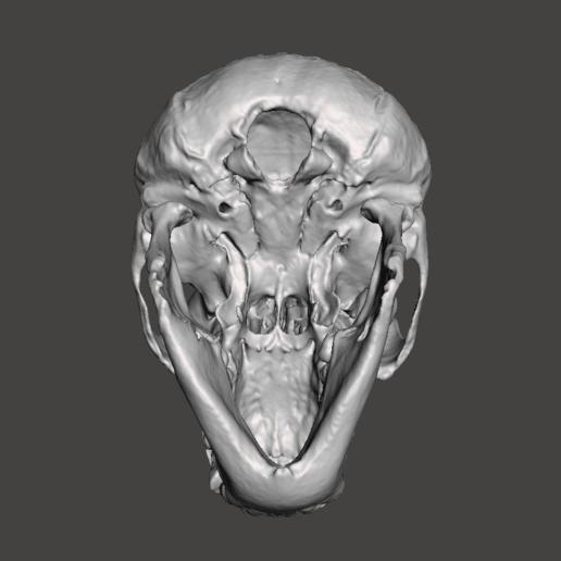 4.png Télécharger fichier STL gratuit Crâne de chimpanzé - Pan troglodytes verus • Objet pour imprimante 3D, Valchanov