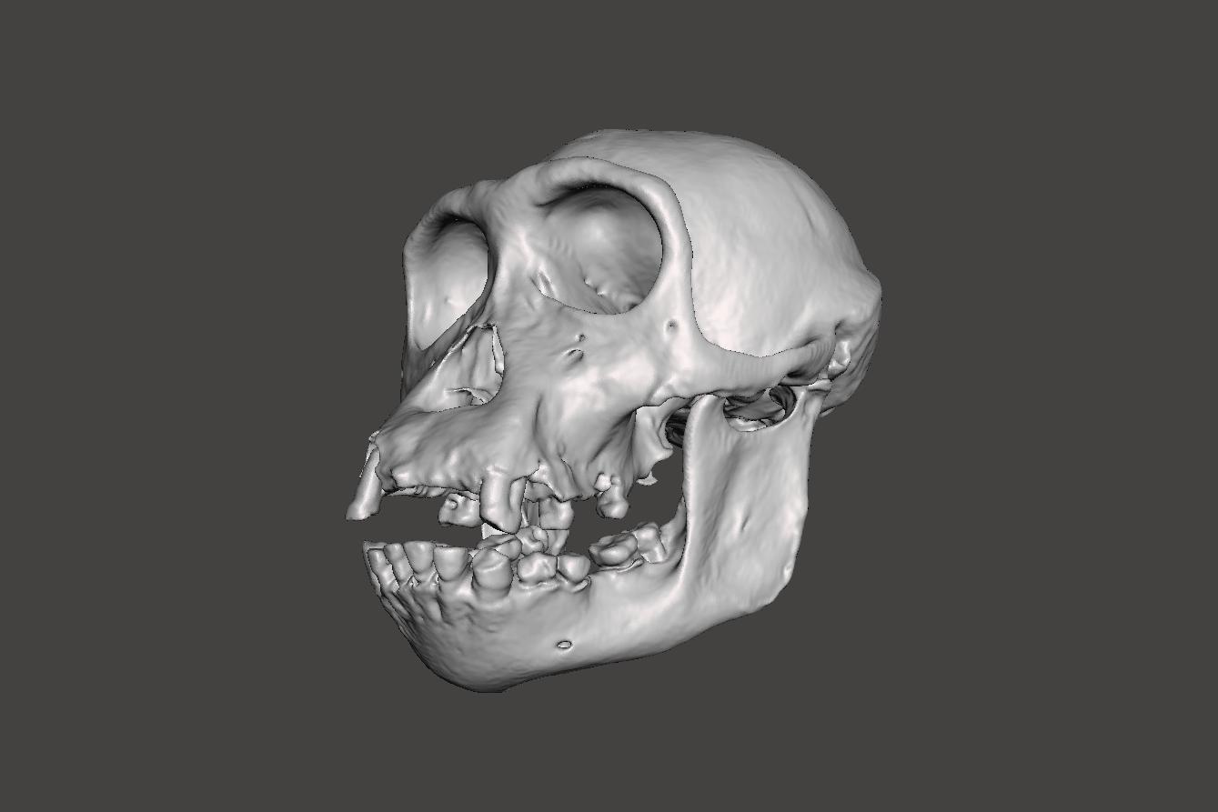 6.png Télécharger fichier STL gratuit Crâne de chimpanzé - Pan troglodytes verus • Objet pour imprimante 3D, Valchanov