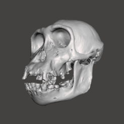 Download free 3D printer designs Chimpansee Skull - Pan troglodytes verus, Valchanov