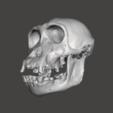Télécharger objet 3D gratuit Crâne de chimpanzé - Pan troglodytes verus, Valchanov