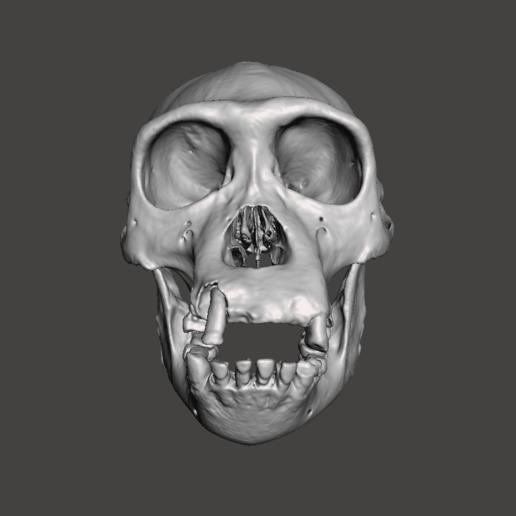 1.png Télécharger fichier STL gratuit Crâne de chimpanzé - Pan troglodytes verus • Objet pour imprimante 3D, Valchanov