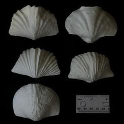 brachiopods 500.jpg Télécharger fichier STL Brachiopodes • Modèle à imprimer en 3D, eman1030b