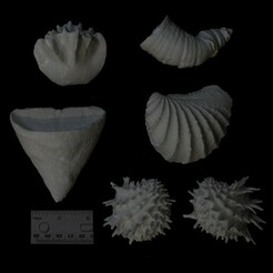 bivalve-coral -500.jpg Télécharger fichier STL Coraux fossiles et bivalves • Objet à imprimer en 3D, eman1030b