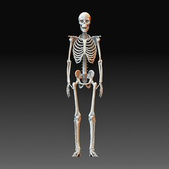 Skeleton.jpg Download OBJ file Human skeleton • 3D printer design, tex123