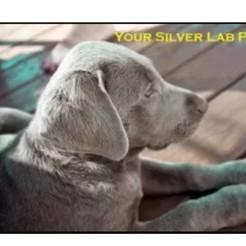 Download free 3D print files Your Silver Lab Model, soulsouljack