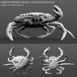 Carcinus maenas Rens thingiverse.jpg Download free STL file Shore crab, Carcinus maenas • Template to 3D print, iThink4u
