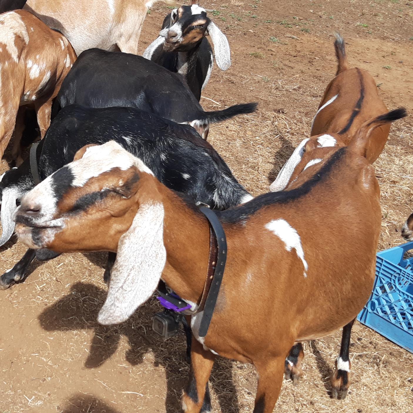 Dakota Apple.png Télécharger fichier STL gratuit Goat Pro - Caméra sur collier • Objet pour imprimante 3D, Giandroid