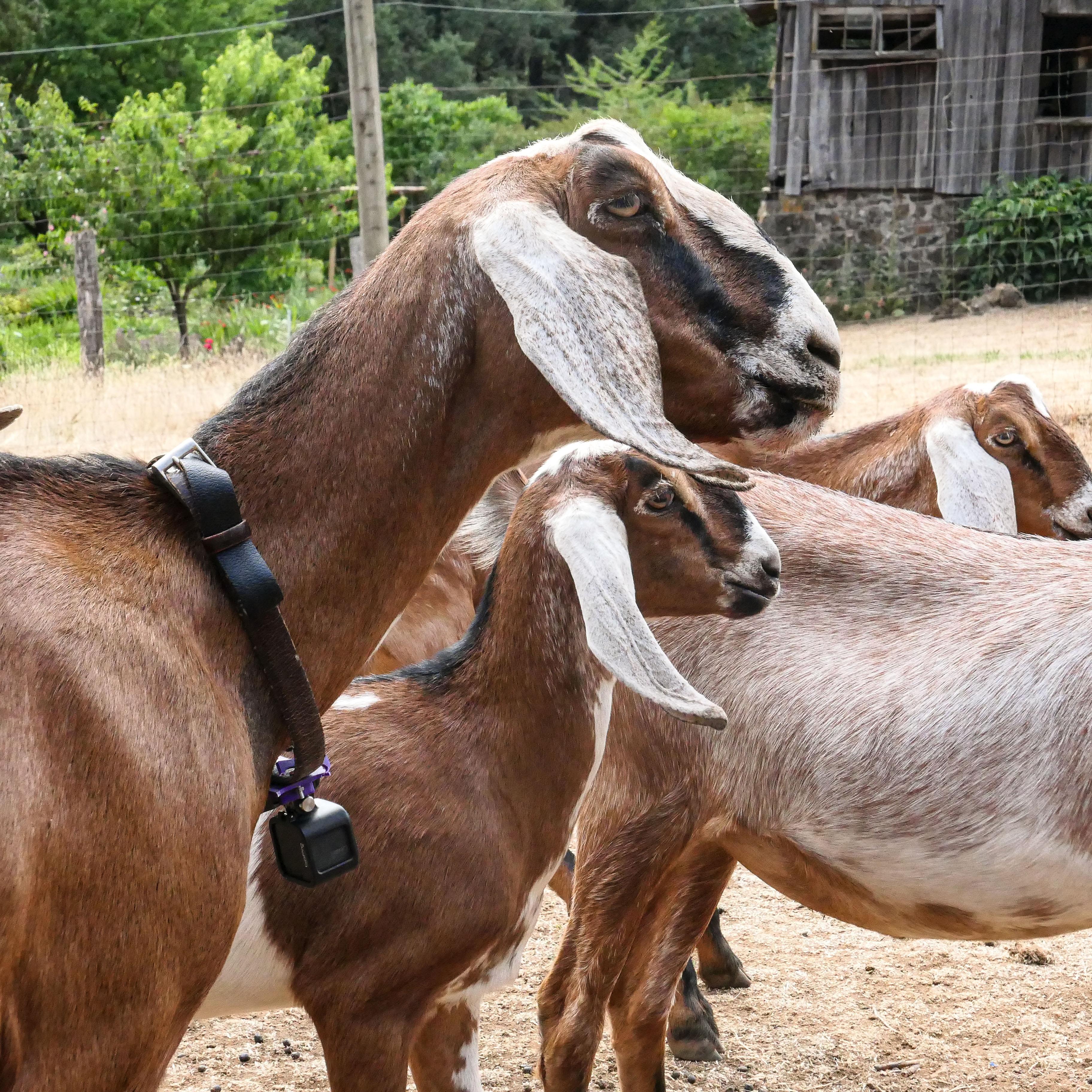 goat_pro_first.jpg Télécharger fichier STL gratuit Goat Pro - Caméra sur collier • Objet pour imprimante 3D, Giandroid