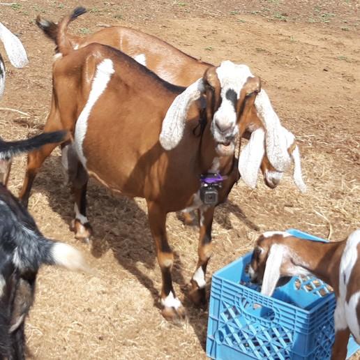 goat_pro_front.jpg Télécharger fichier STL gratuit Goat Pro - Caméra sur collier • Objet pour imprimante 3D, Giandroid